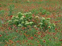 Asclepias viridis, a native milkweed, flourishes in a field of Indian blanket wildflowers.Randy Johnson