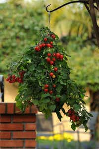 'Topsy Tom' tomato was bred to grow in a hanging basket.PanAmerican Seed