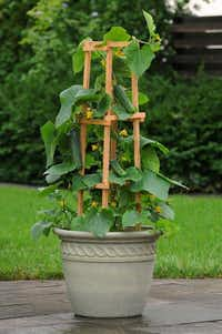 'Patio Snacker' cucumber needs a trellis for its 4- to 5-foot vines.PanAmerican Seed