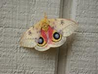 The male io moth has eyespots that resemble owl eyes to scare away predator birds.