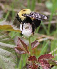 Brown-belted bumble bees are partial to coneflowers, but they will collect pollen and nectar where they find it.(Carol Clark)