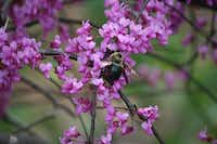 Some native bees, including the Eastern carpenter bee on a redbud tree, nest in holes in woody stems. They also can dig tunnels to make a home.(Carol Clark)