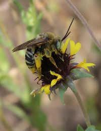 Texas has long-horned bees as well as cattle.( Carol Clark )