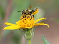 A native bee sporting yellow abdominal hair uses bits of leaves in its nest.(Carol Clark)