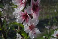 Spring peach blossoms create a pink cloud in the spring. Texas A&M University is releasing several new varieties, including some with sweet pale flesh, this year.