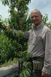 Texas A&M University researcher David Byrne has been working on new varieties of peaches for years to please the public and provide better crops for peach growers. The new types are being released to the public this year.