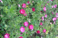 Winecup is similar to poppies in its flowers, lacy foliage and full-sun requirement. As a Texas native, however, it is perennial, not a seasonal annual.