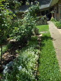 Sweet alyssum plants, used as a border, attract beneficial insects to Joe and Margie Plunkett's rose beds.