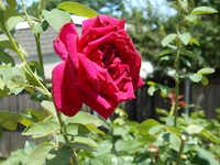 The rose 'Mirandy' has a pleasant fragrance. Garden-tour visitors to Joe and Margie Plunkett's home in Plano said they could smell the blooms before they could see the rosebush.