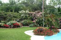 Claude Graves' garden in Richardson was a riot of roses four years ago. Then rose rosette disease struck. He lost 40 to 50 of his 300 roses from the virus. Others he removed before they were infected.( Claude Graves )