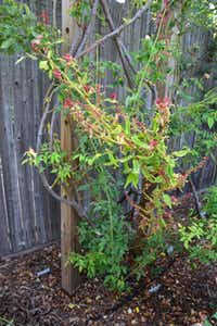 Rose rosette disease infects a climbing rose in Claude Graves' Richardson backyard. The most obvious signs of the disease are reddish new growth, deformed leaves and an explosion of thorns.(Claude Graves)