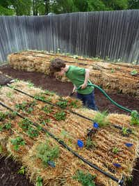 Ethan Larriva, then 7, watered his family's straw bale garden in Anna in 2013. His father, Stephen Larriva, said the straw bale garden was easier than building raised beds for his clay soil and that the method brought an abundant crop.( Stephen Larriva )