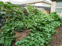 Japanese cucumbers planted in bales covered lattices at Stephen Larriva's straw bale garden in Anna last spring. The straw bales act as both a container and growing medium for vegetables and flowers.(Stephen Larriva)