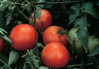 'Celebrity' tomato transplants are easy to find and disease-resistant. It takes 70 days for the plants to mature.( W. Atlee Burpee  - W. Atlee Burpee)