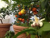 Billy Velten, who grew up in Brownsville, raises multiple kinds of citrus in large pots. The trees spend the winter in a hoop house for protection from killing freezes.(Billy Velten)