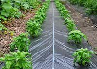 A Flora-Flow All-in-One Mat combines drip irrigation and a weed-suppressing mat to water plants and discourage weeds.(Harris Seeds)