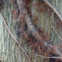 In winter, old poison ivy vines are thick and hairy — and quite potent.Photos by Poison-ivy.org