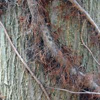 In winter, old poison ivy vines are thick and hairy — and quite potent.( Photos by Poison-ivy.org  )