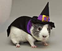 This year, even pet guinea pigs can get in the game. PetSmart's All Living Things witch costume with a black-and-purple-trimmed cape and pointy hat is a retailer exclusive. $5.99. Available in stores only.