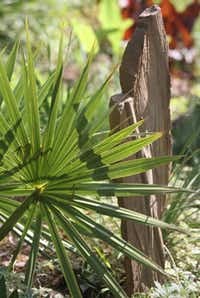 A Sabal minor palm growing next to a slab of sandstone in Matthew Nichols'  front yard garden.