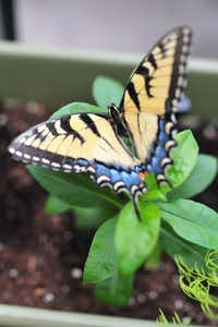 Learning takes wing in the butterfly habitat set up for Plano ISD students.