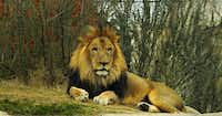Dinari, a male lion, went back on exhibit Wednesday at the Dallas Zoo along with his brother. A female lion, 5-year-old Johari, was killed Sunday by one of the male lions in full view of visitors.