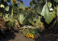 A trampled sunflower plant at a sunflower field in Allen shows the type of damage being done by trespassing photographers and their subjects.