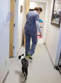 Brittney Barton walks ahead of Benny, a 9-year-old Boston terrier, following his acupuncture session at HEAL Veterinary Hospital. Barton, director of the clinic, has been a certified veterinary medical acupuncturist for eight years. Benny suffers from intervertebral disk disease and was unable to walk before beginning acupuncture treatment at the clinic.( G.J. McCarthy  -  Staff Photographer )