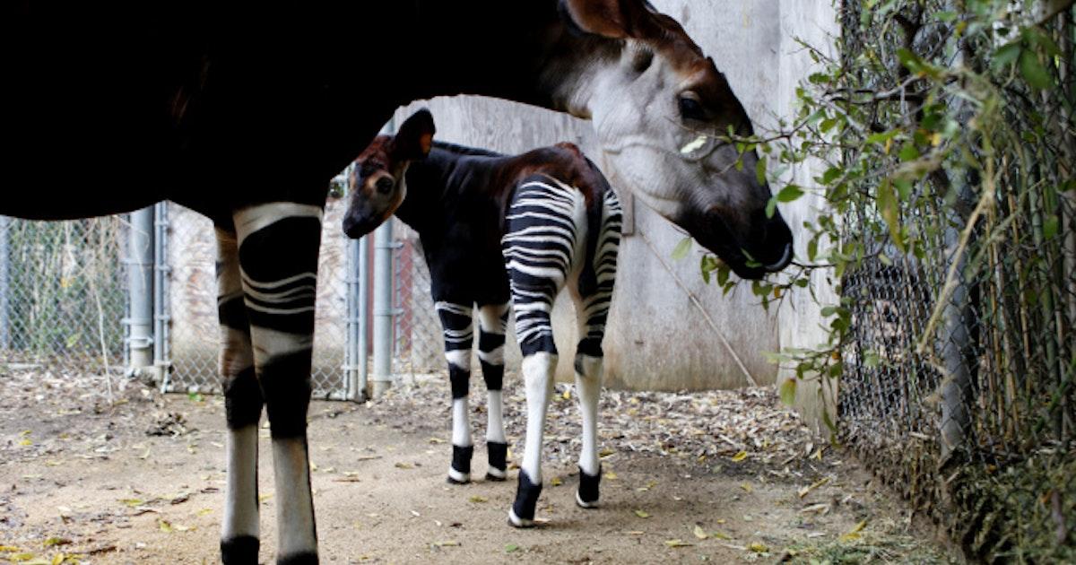 Dallas Zoo Aiding World Effort To Make Okapis More Copious News