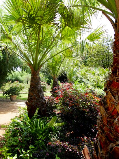 Neil Sperry: Give your yard a touch of the tropics | McKinney ...