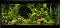 The author's 40-gallon aquarium uses Texas limestone and easy-care plants. The silver-tip tetras are an active small schooling fish.