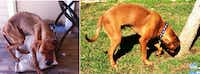 These photos show the dramatic change in a boxer mix named Red who was severely malnourished when he arrived at Plano Animal Services in October and is now healthy enough for adoption after months of rehabilitation. (Photo courtesy city of Plano)