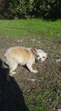 According to the person seeking to help this very pregnant stray in Oak Cliff this week, this mother dog looks as if she's stayed pregnant most all of her hard life.