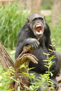 """Happy Day at the Dallas Zoo"" by Kelly Qualls shows one of the Dallas Zoo's Chimpanzees enjoying the day.(Kelly Qualls)"