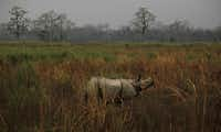A one horned Rhinoceros stands inside the Kaziranga National Park in Kaziranga about 250 kilometers (156 miles) east of Gauhati, India. Declared a national park in 1968 and a UNESCO World Heritage Site, the Kaziranga National Park is famous for the one-horned rhino habitat apart from other animals and birds.