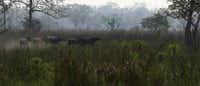 Wild water buffalos run inside the Kaziranga National Park.