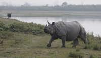 On March 24, 2013 a two-day census inside the Kaziranga National Park, found that there was an addition of 39 one-horned great Indian rhinoceros to the previous year's figure of 2,290, official sources said. Assam is home to the world's largest concentration of rhinos.