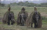 Mahouts return with their elephants after collecting fodder at the Kaziranga National Park at Kaziranga. Wildlife authorities used drones on April 8, 2013 for aerial surveillance of the sprawling natural game park in northeastern India to protect the one-horned rhinoceros from armed poachers.
