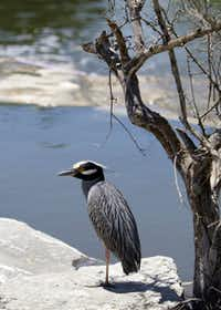 A heron soaks up the sun along the Museum Reach section of the River Walk.