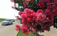 Thousands of crape myrtles line McKinney's roads, including these trees near the intersection of Alma and Stacy roads.