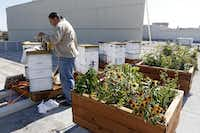 Camaran Perez,  a commercial beekeeper for the American Honey Bee Protection Agency, tends to the rooftop hives at Central Market on Lovers Lane. The grocery store will sell the honey and beeswax products to customers.(Photos by Rose Baca - Staff Photographer)