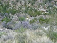 Texas sage, also called cenizo, is noticeably bright in its native landscape in the Big Bend.