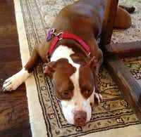 Samantha lives with a Denton foster family and other pit bulls.Kay Smith