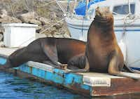 Seals sun themselves in Channel Islands Harbor, which lies about 10 miles from the town of Oxnard, Calif.(Robert Reid Hepler - TNS)
