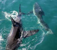A pair of sharks cross paths near Gansbaai, South Africa.
