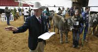 Breed superintendent Pat Hamilton organizes handlers and livestock during a competition. Efficiency and hospitality keep exhibitors coming to Fort Worth, show officials say.(Ron Baselice/Staff Photographer)