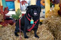 Fay Stout's  rescue pug Mollie Sue at the Huffhines Art Trails 2012.(Fay Stout)