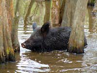 Wild boars are among the creatures living in the swamp, along with red wolves, deer and alligators.Picasa -  Anne Gordon