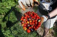 Volunteer Karen Raley of Dallas displays cherry tomatoes she picked at Bonton Farm-Works.(Andy Jacobsohn - Staff Photographer)
