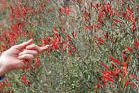 March and April are good months to visit Palm Springs to see wild flowers in blossom. The red-blossomed chuparosa shrub, also known as hummingbird bush, is native to the California desert.